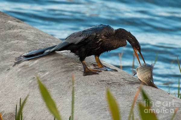 Photograph - Male Anhinga With Big Fish 2 by Photos By Cassandra