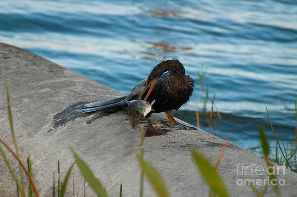 Photograph - Male Anhinga With Big Fish 3 by Photos By Cassandra