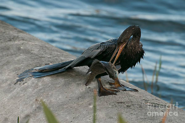 Photograph - Male Anhinga With Big Fish by Photos By Cassandra
