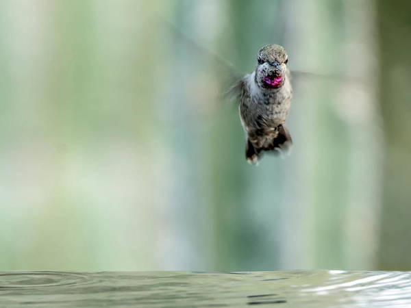 Photograph - Male Anna's Hummingbird 8386 by Tam Ryan