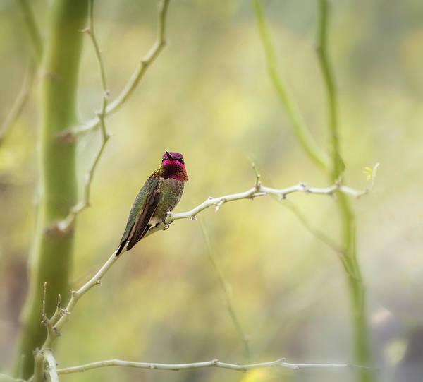 Wall Art - Photograph - Male Anna's Hummingbird  by Saija Lehtonen
