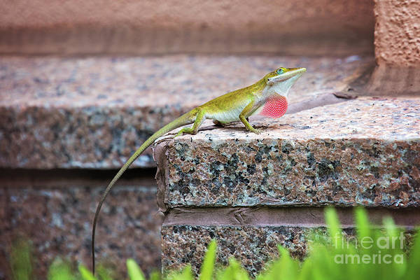 Green Anole Photograph - Male Anole With Extended Dewlap by Sharon McConnell