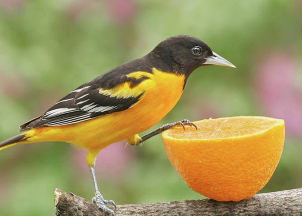 Oriole Photograph - Male Baltimore Oriole Investigating An Orange by Jim Hughes