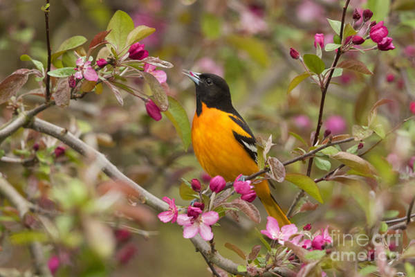 Photograph - Male Baltimore Oriole by Marie Read