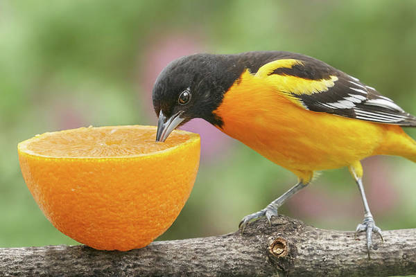 Oriole Photograph - Male Baltimore Oriole Tasting An Orange by Jim Hughes