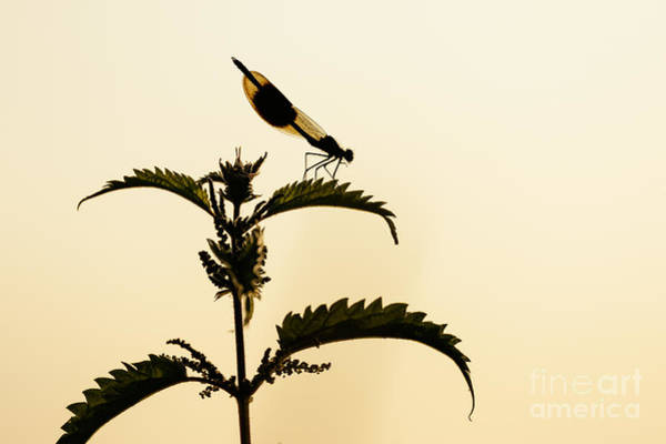 Male Banded Demoiselle At Sunset Art Print
