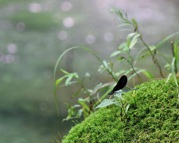 Photograph - Male Beautiful Demoiselle Damselfly by Jemmy Archer