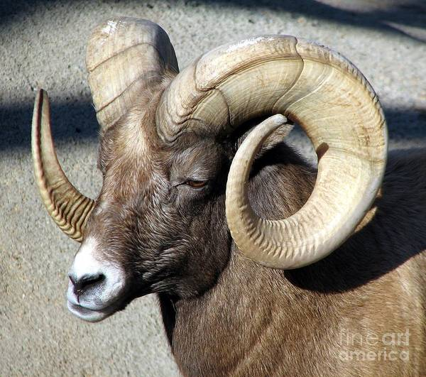 Photograph - Male Bighorn Sheep Ram by Rose Santuci-Sofranko