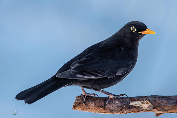 Photograph - Male Blackbird Perching On A Pine Branch In Profile by Torbjorn Swenelius