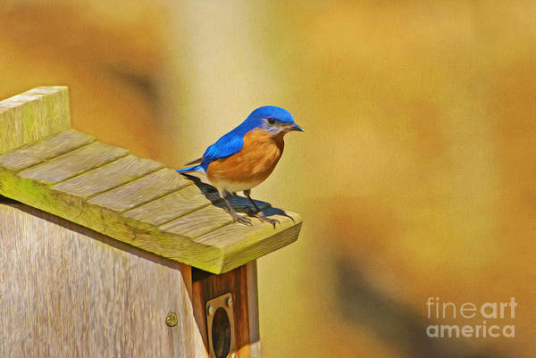 Bird House Photograph - Male Blue Bird Guarding House by Laura D Young