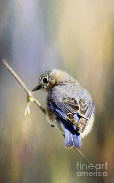 Photograph - Male Blue Bird by Pam  Holdsworth