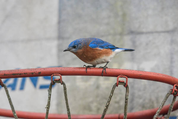Photograph - Male Bluebird On Old Basketball Goal 011020164624 by WildBird Photographs