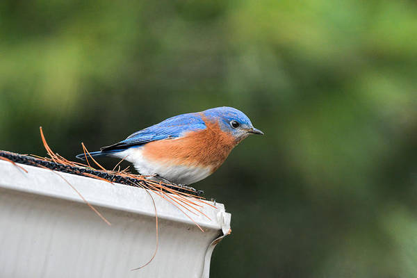Photograph - Male Bluebird On Rooftop 011020164637 by WildBird Photographs