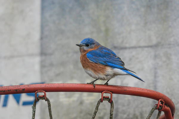Photograph - Male Bluebird Perched On Old Basketball Goal 011020164594 by WildBird Photographs