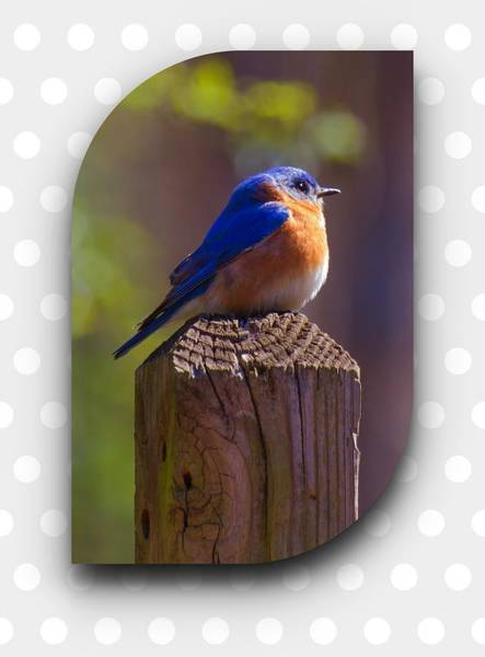 Photograph - Male Bluebird by Robert L Jackson