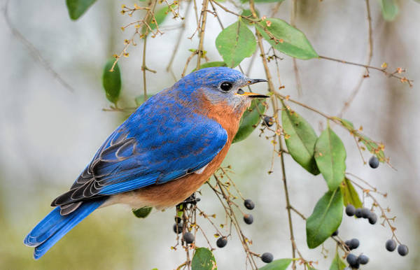 Photograph - Male Bluebird Swallowing Berry 011020164717 by WildBird Photographs