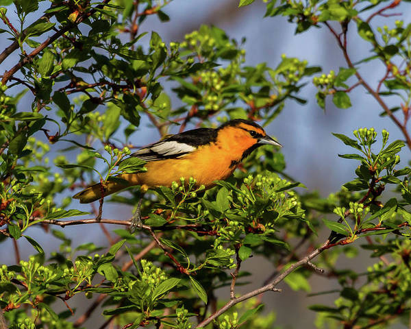 Photograph - Male Bullock's Oriole by TL Mair