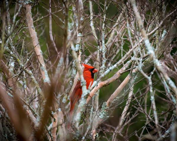 Photograph - Male Cardinal 2 by Keith Smith
