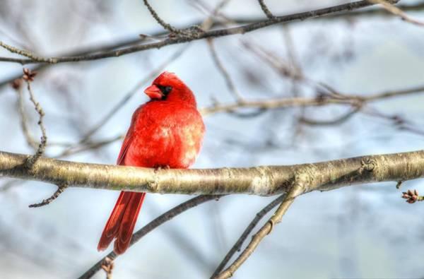Photograph - Male Cardinal by Carol Montoya