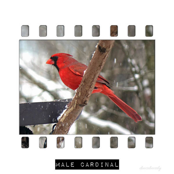Photograph - Male Cardinal by Denise Beverly