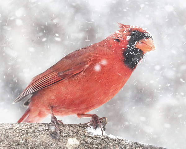 Photograph - Cardinal In A Snowstorm by Jim Hughes