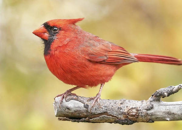 Photograph - Male Cardinal In Fall by Jim Hughes