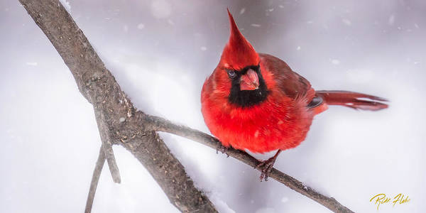 Photograph - Male Cardinal In Snow by Rikk Flohr