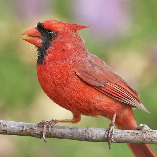 Photograph - Male Cardinal In Spring by Jim Hughes