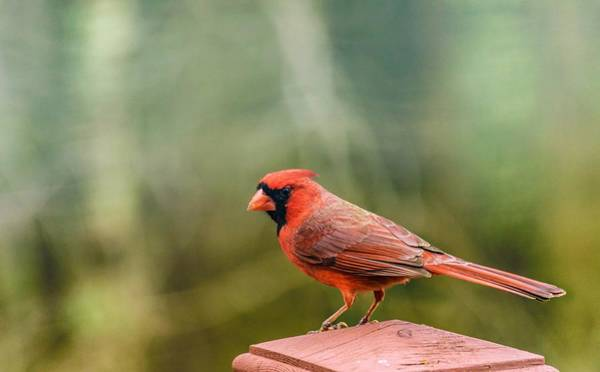 Photograph - Male Cardinal by Keith Smith