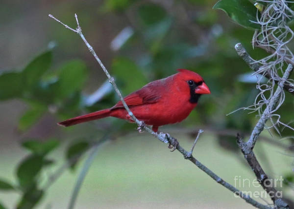 Photograph - Male Cardinal On Branch  by Carol Groenen
