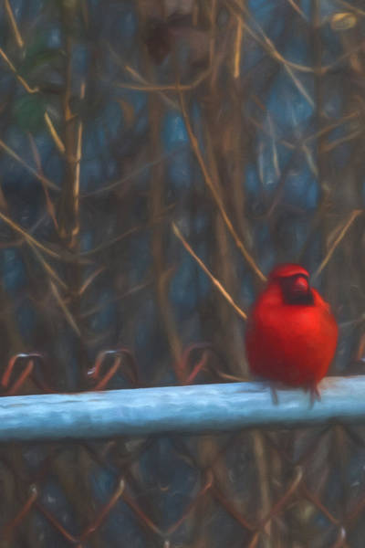 Photograph - Male Cardinal On Fence  by Terry DeLuco