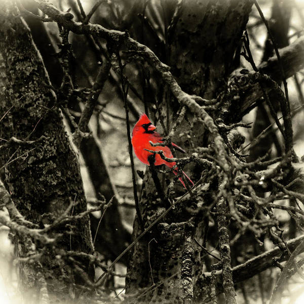 Photograph - Male Cardinal by Sharon Popek