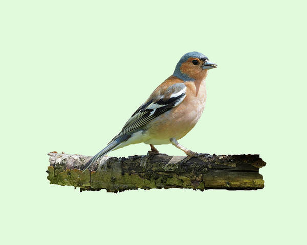 Photograph - Male Chaffinch, Green Background by Paul Gulliver