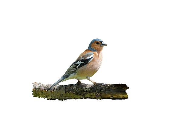 Photograph - Male Chaffinch, Transparent Background by Paul Gulliver