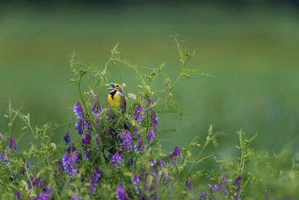 Photograph - Male Dickcissel by Robert Potts