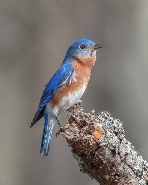 Photograph - Male Eastern Bluebird Singing Dsb0298 by Gerry Gantt