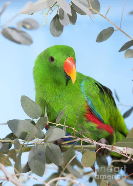Eclectus Parrots Photograph - Male Eclectus Parrot Eclectus Roratus by Gerard Lacz