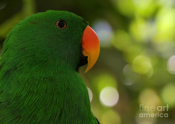 Painting - Male Eclectus Parrot by Sue Harper
