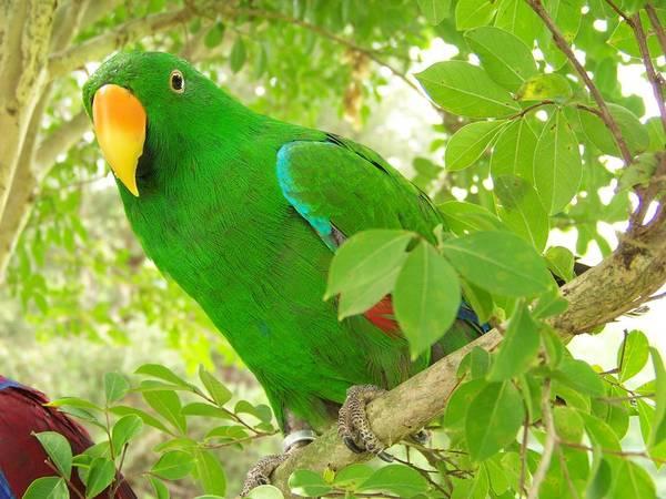 Eclectus Parrots Photograph - Male Eclectus by Rebecca LaFrance