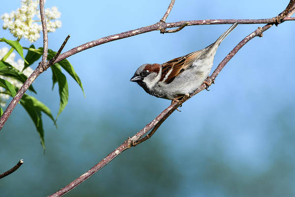 Photograph - Male English Sparrow by Robert Potts