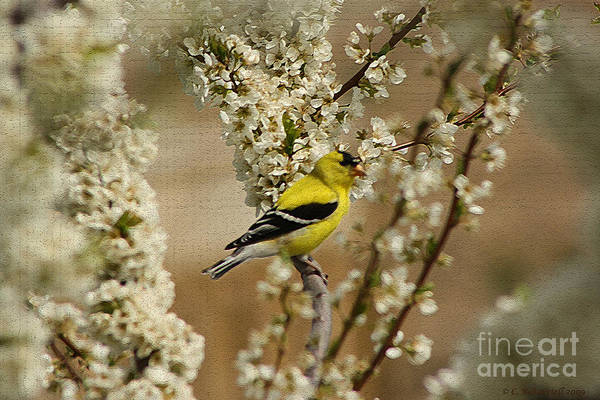 Photograph - Male Finch In Blossoms by Cathy Beharriell