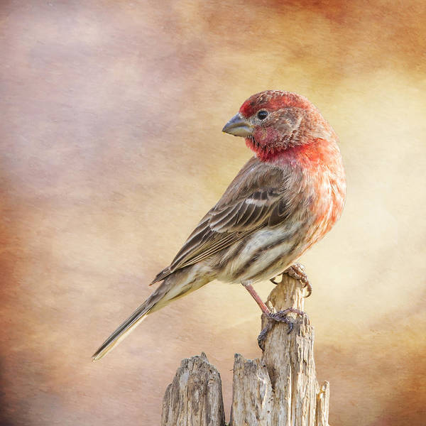 Wall Art - Photograph - Male Finch Poses On Post by Bill Tiepelman
