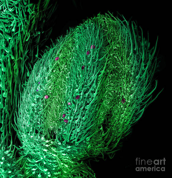 Photograph - Male Flower Cannabis, Sem by Ted Kinsman