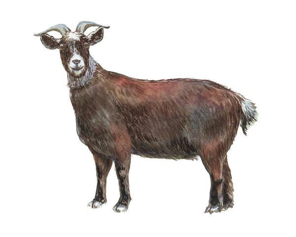 Wall Art - Painting - Male Goat Watercolor Illustration  by Irina Sztukowski