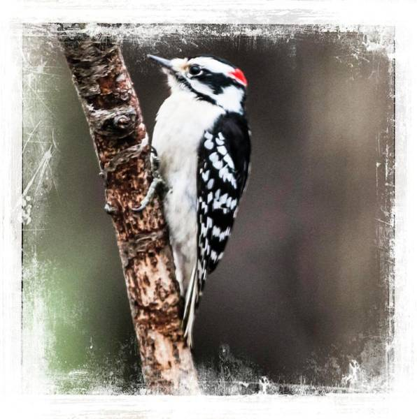 Photograph - Male Hairy Woodpecker Perching by Rusty R Smith