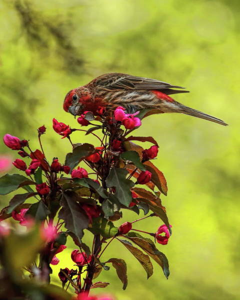 Photograph - Male House Finch Eating Blossoms by Dale Kauzlaric