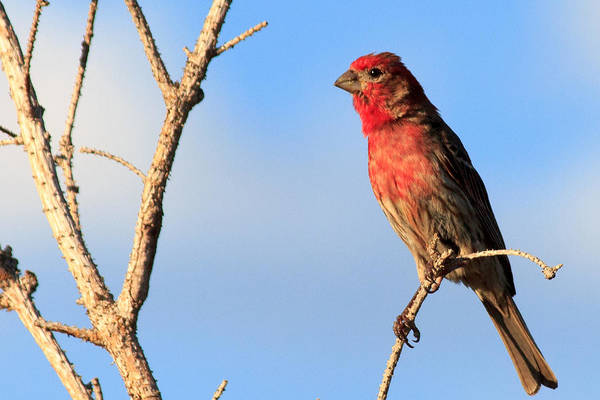 Photograph - Male House Finch by Laurie Pelham