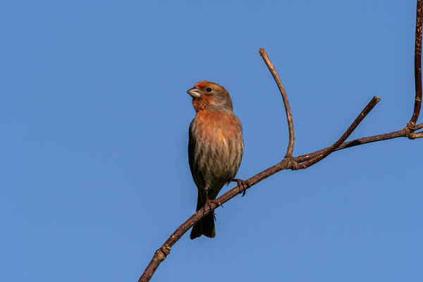 Photograph - Male House Finch by Robert Potts