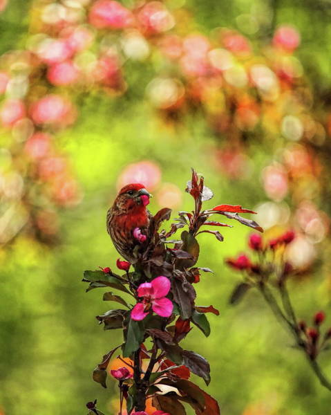 Photograph - Male House Finch Under A Wreath by Dale Kauzlaric