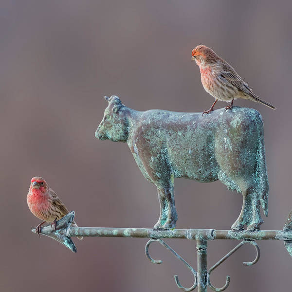 House Finch Wall Art - Photograph - Male House Finches by Bill Wakeley